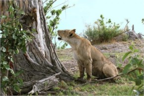 The photographers held their breath as the lionesses stood before the small and innocent baby baboon.