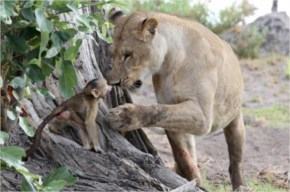 The lioness gently picked up the baby baboon in her mouth and settled down over him.