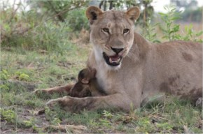The behaviour twist was completely unexpected. The lioness was behaving completely different and was now caring for the baby baboon.