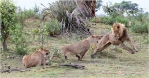 The father of the baby baboon was watching closely and when the fight broke out between the lioness and the male lion, he saw this as the perfect opportunity to swoop in and rescue the baby baboon.