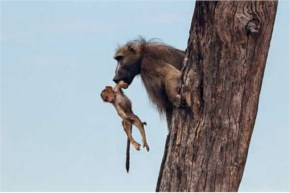 What do you think was more impressive? The baboon father's bravery and rescue mission, or the lionesses gentle decision to protect the baby baboon?