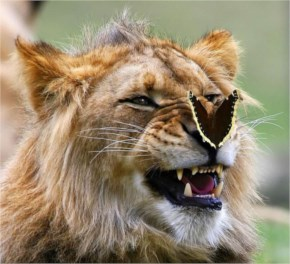 10 out of 12 Butterflies Play with Cute & Rare Animals Pictures - Lion