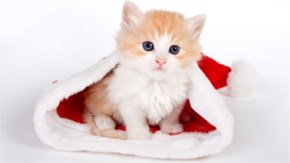 11. Cute Kitten dressing in Santa's cap