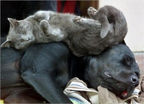 4 of 10 Pictures of Cute Cats Used Dog As Beds