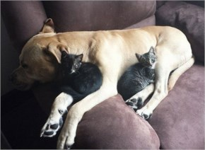 6 out of 10 Pictures of Cute Cats Used Dog As Pillows