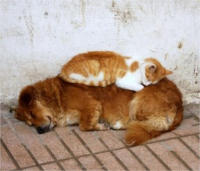 9 of 10 Pictures of Cute Cats Used Dog As Beds