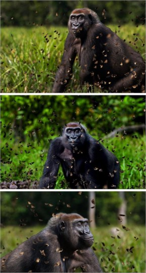 9 out of 12 Butterflies Play with Cute & Rare Animals Pictures - Gorilla