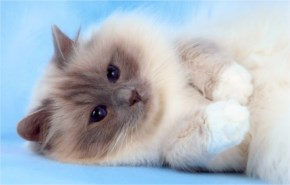 Birman cute cat