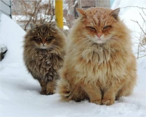 Cat  that can keep their hair remain fresh while playing in snow