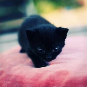 Cute Cat image-Black angry cat