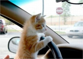 Cute Cat image with steer car