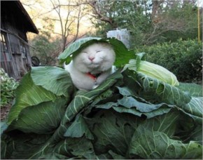 Cute Cat playing with cauliflower and enjoying