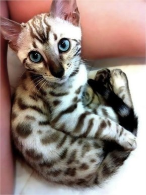 Egyptian Mau cute cat