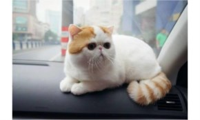 Exotic Shorthair cute cat