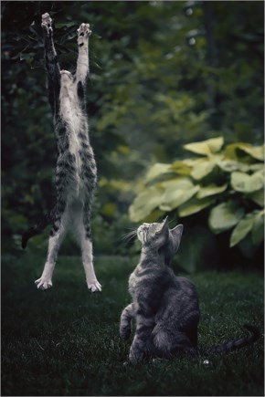 Funny Cat jumping like Olga Gyarmati as if she is champion of long jump