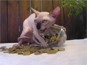 Funny hairless cat have money gold coins