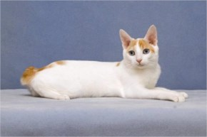 Japanese Bobtail cute cat