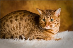 Ocicat cute cat