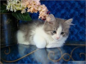 Ragamuffin cute cat