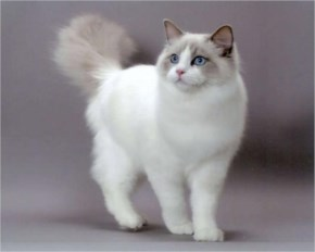 Ragdoll cute cat