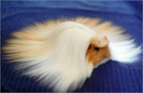 The Guinea Pig who know how to grow longer hair do you know