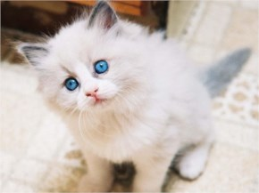 Turkish Angora cute cat