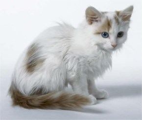 Turkish Van cute cat