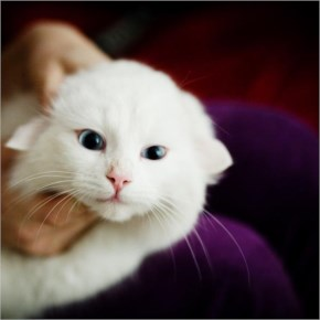White Baby Cat image
