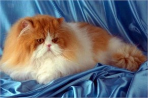 10 Most Popular Breeds Of Cats- 2 Persian Cat