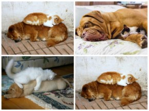 10 Pictures of Cute Cats Used Dog As Beds