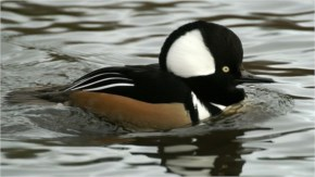 12 Most Beautiful Ducks In The World