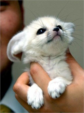 A Handful of Baby White Fox!
