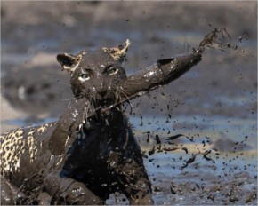 A leopard leaps into a muddy waterhole to catch a fish