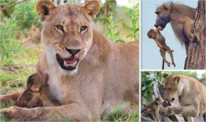A Lioness Killed A Baboon And The Baby Was Left Alone. What Happened Next Is Unbelievable
