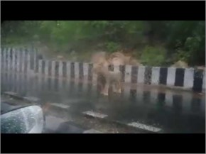Amazing Video | Watch Live Lion Walk on the Road at Junagadh City in monsoon Season