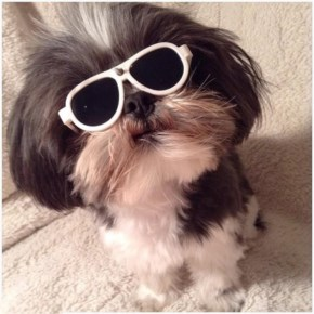 Angel the Shih Tzu Like a boss
