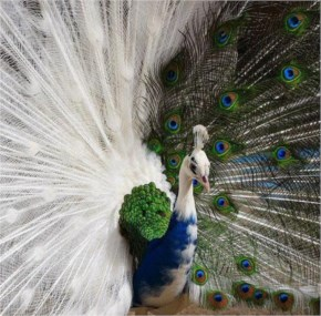 Beautiful Half Albino Peacock