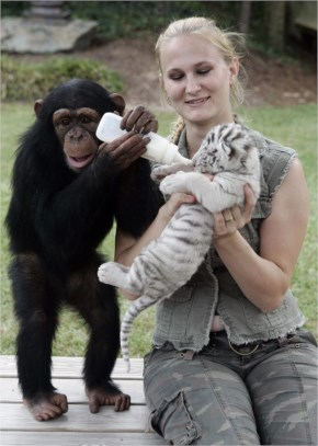 Best scene  Ever Chimpanzee Mothering care for tiger cubs- Truth !