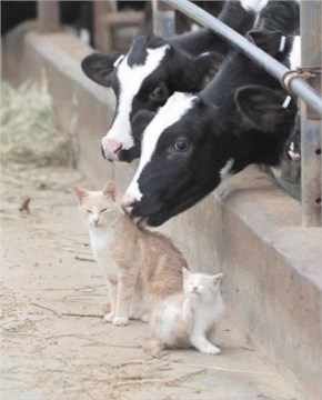 Cows giving out cat back rubs the only way they know how