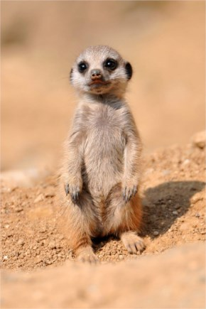 Cute And Sweet Standing Baby Meerkat
