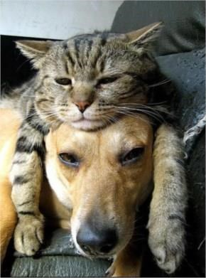 Cute Cat using dog as a bed