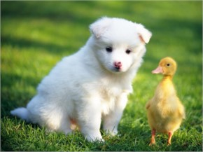 Cute Puppy And Chicken Playing