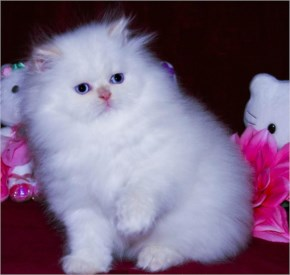 Cute White Cat image with blue eyes
