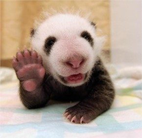 Cute wild Pandas Photos