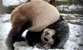 10 Cute wild Pandas Photos