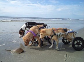 Disable Dogs Can't Figure Out A Horseshoe Crab