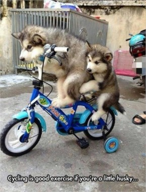 Dogs Riding Bicycles….Funny Two Little Huskies On A Kids Bicycle