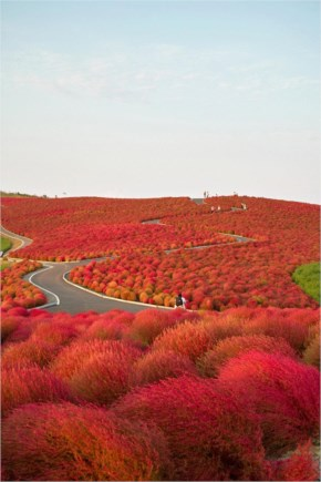 Flower Paradise Hitachi Seaside Park Japan