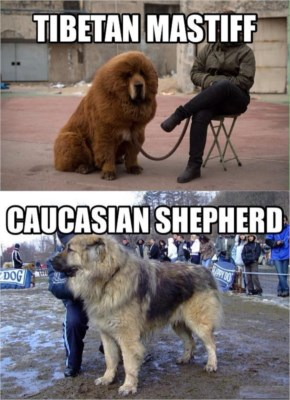 Funny And Cool Hairy Dog Tibetan Mastiff Chilling With A Girl