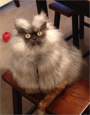Funny angry cat